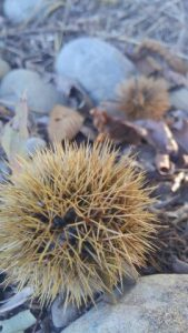 公園内、青い栗がばらばらと落ちています。